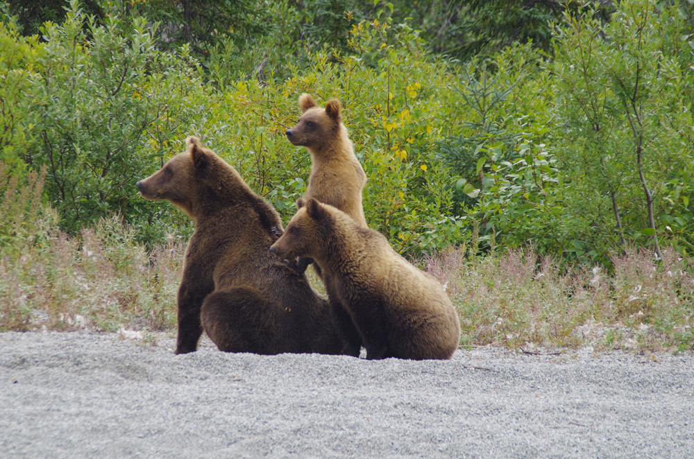 3 Cubs With Momma Brown Bear In Alaska 1000