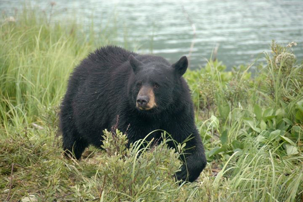 Alaska Black Bear Waling In Grass 1000