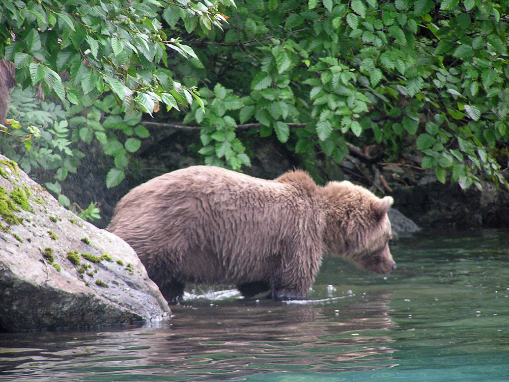 Bear Focused On Fish In Alaska 1000