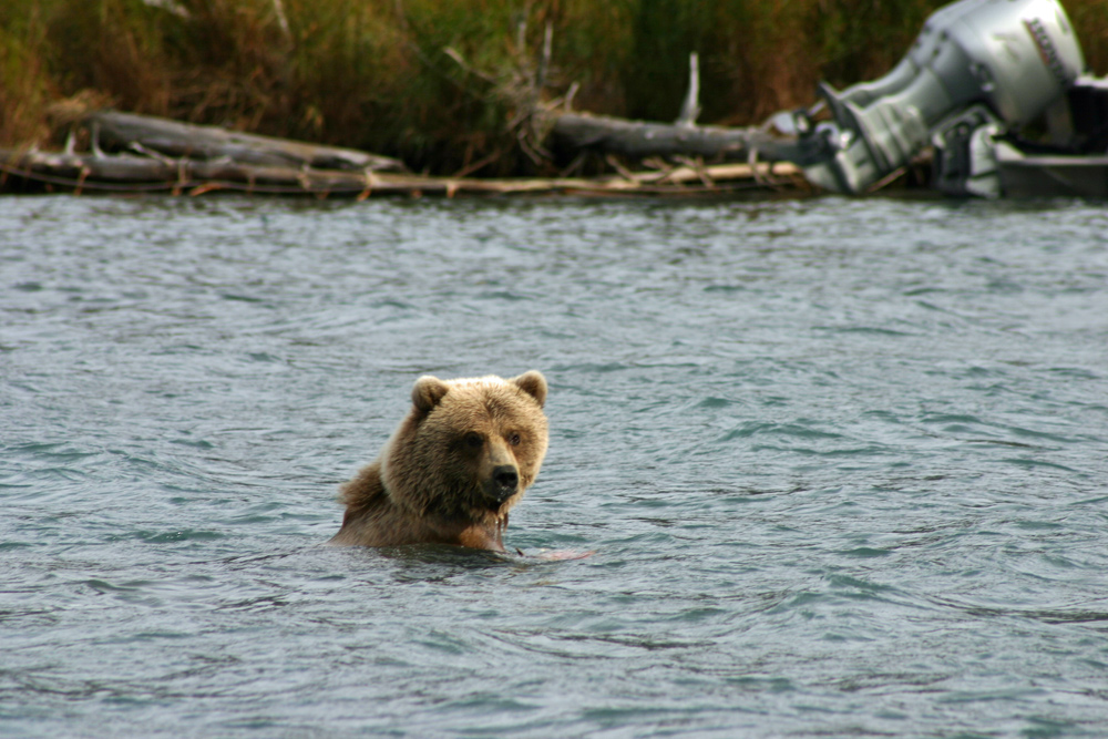 Bear Gets Interrupted While Fishing In Alaska 1000