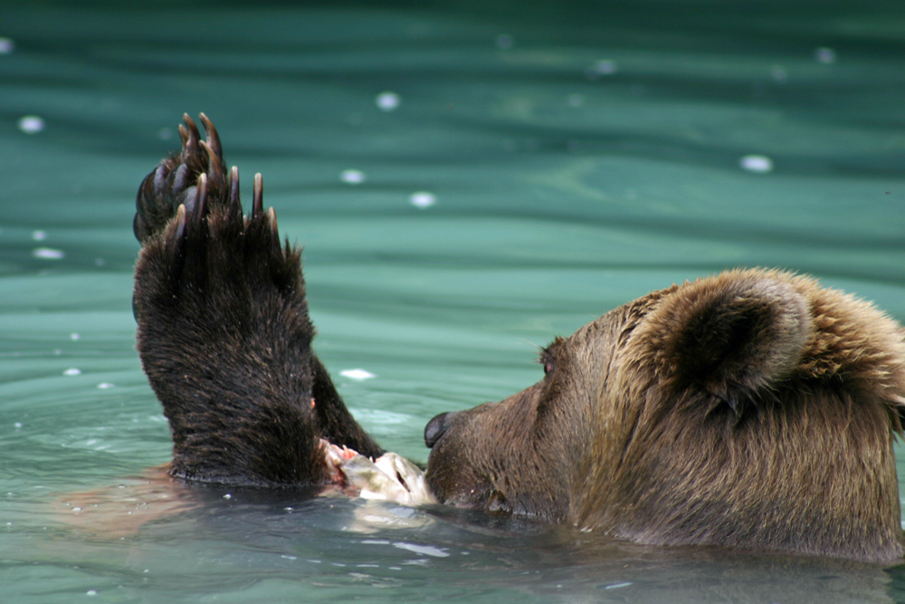 Bear Giving Thanks For Food In Alaska 1000