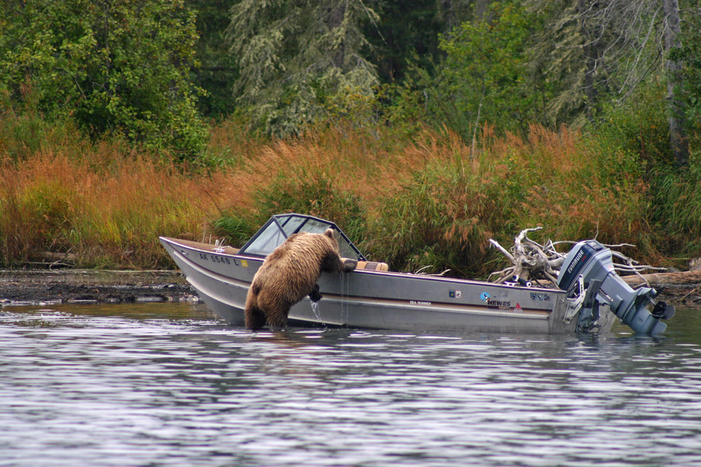 Bear Raids Boat In Alaska 1000