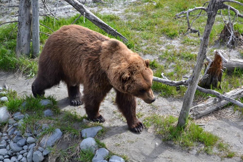 Big Brown Bear Walking On Alaska Trail 1000