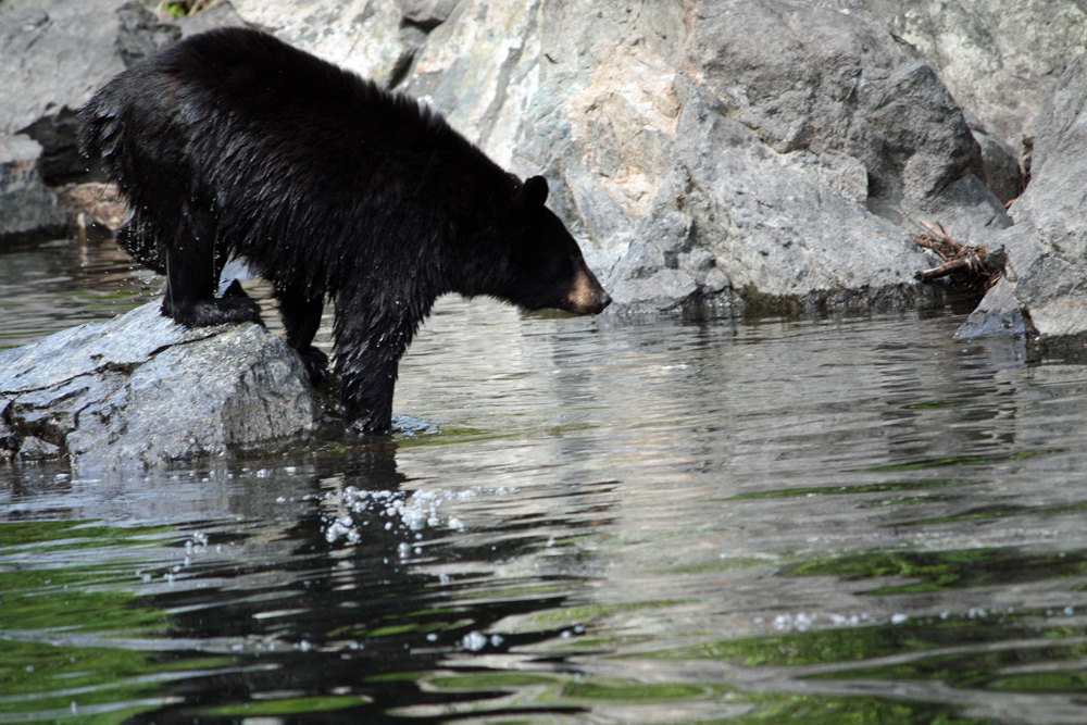 Black Bear Fishing In Alaska 1000