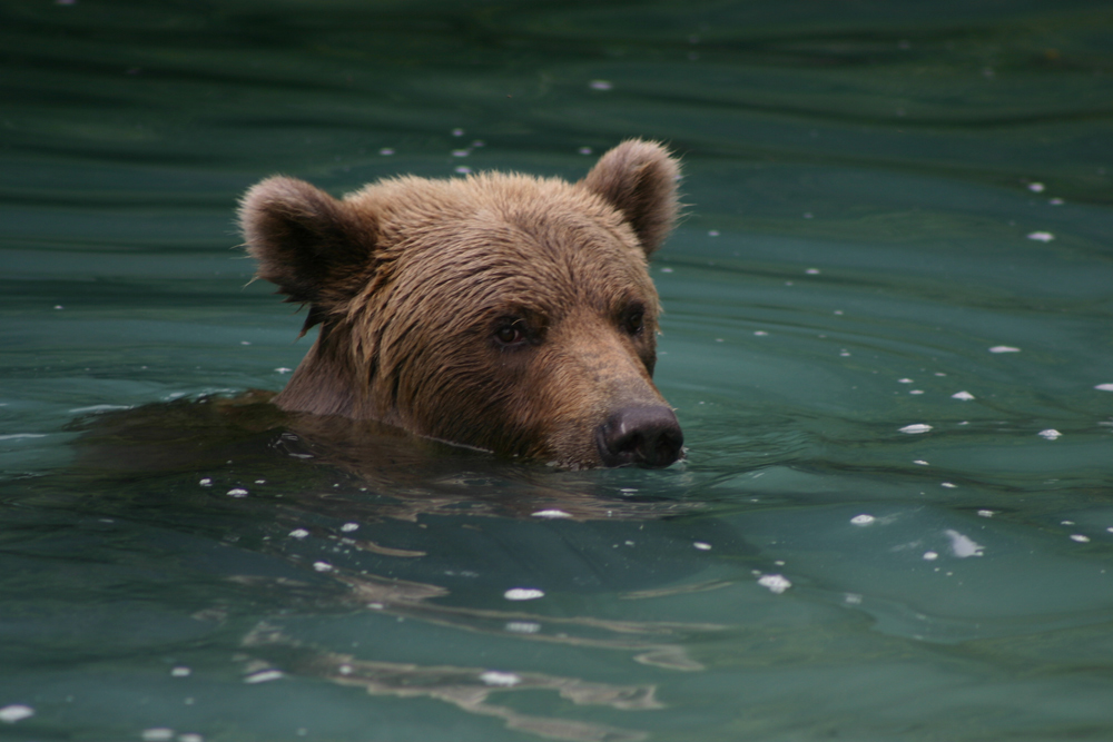 Brown Bear Swimming In Alaska Up Close 1000