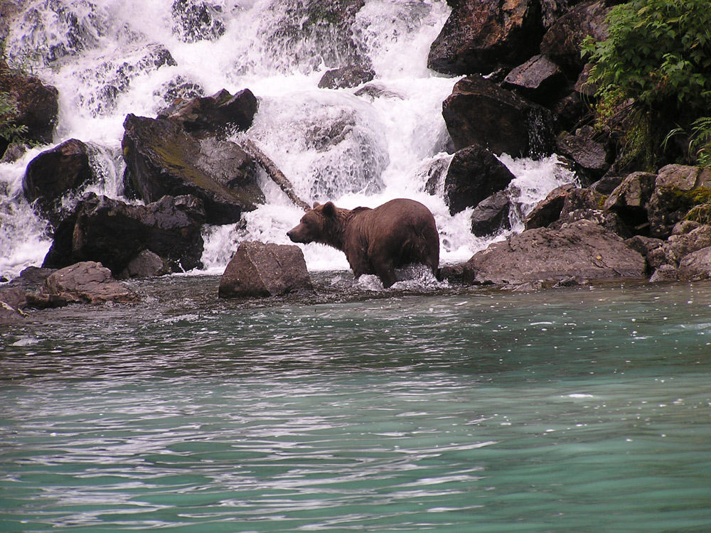 Brown Bear And Waterfall In Alaska 1000