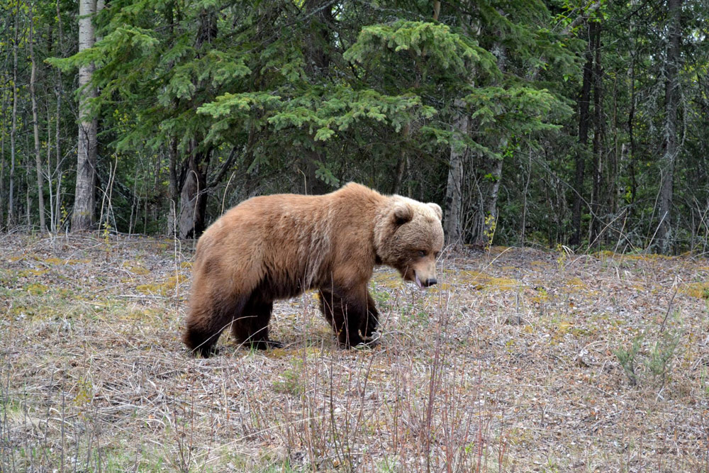 Cute Furry Brown Bear In Alaska 1000