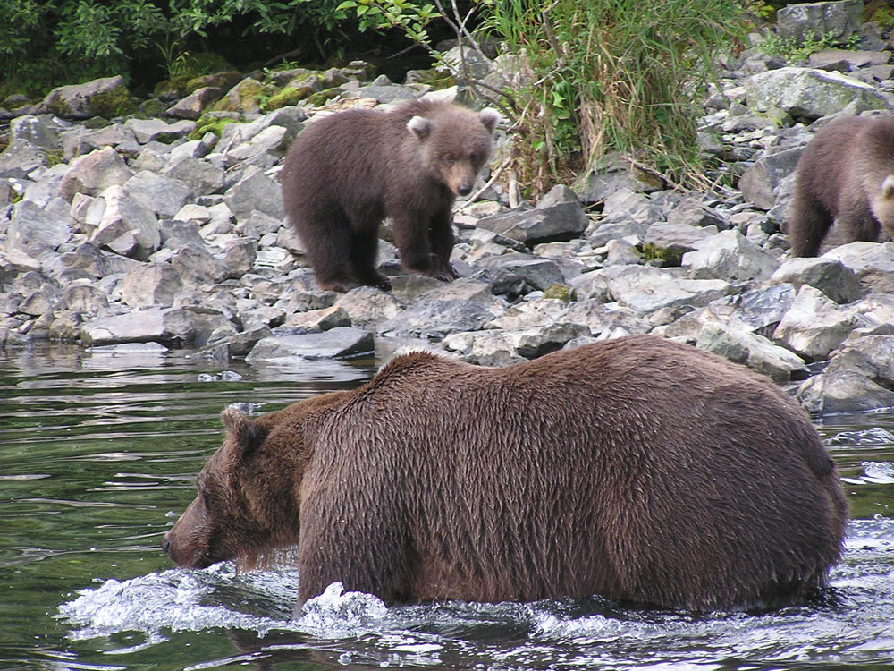 Momma Bear With Cubs In Alaska 1000