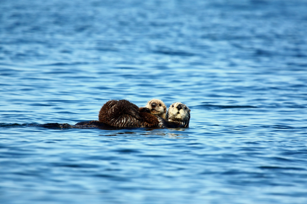 Sea Otter With Pup In Alaska 1000