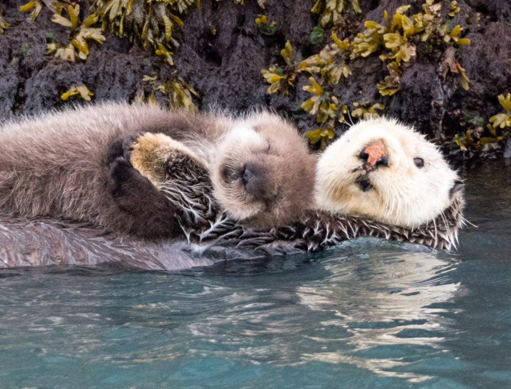 Sea Otters And Babies In Alaska On Kayak Tours