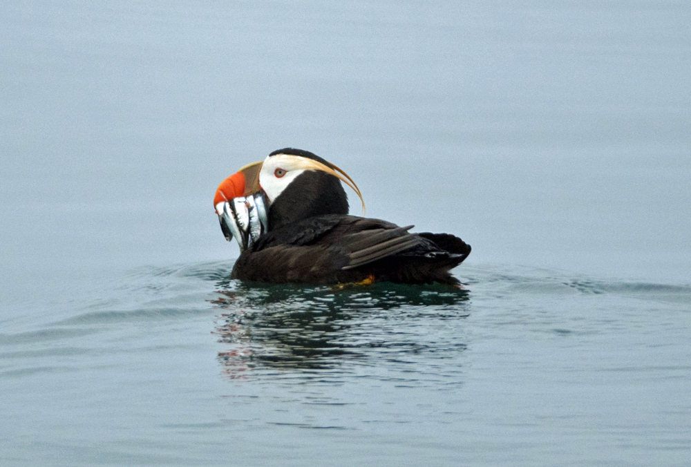Watch Sea Birds On Alaska Kayak Tours 1000