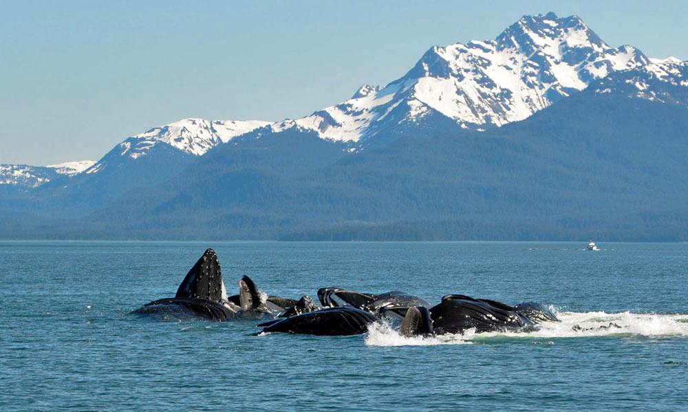 Whales Feeding In Alaska 1000